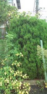F2メートルオシロイバナ黄7.jpg